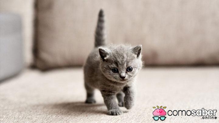 como saber la edad de un gato de raza