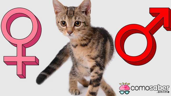 como saber si es gato es macho o hembra